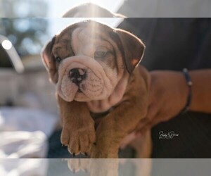 Bulldog Puppy for sale in VICTORIA, TX, USA