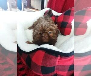 Shih Tzu Puppy for sale in CALUMET CITY, IL, USA
