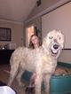 Irish Wolfhound Puppy For Sale in LAKE JACKSON, TX, USA