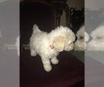 Small Photo #4 Bichon Frise Puppy For Sale in CHICAGO, IL, USA