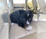 Small Akita-Siberian Husky Mix