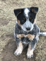 Australian Cattle Dog Puppy For Sale in LAKE ARIEL, PA, USA