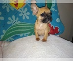 Frenchbulldog puppy for sale