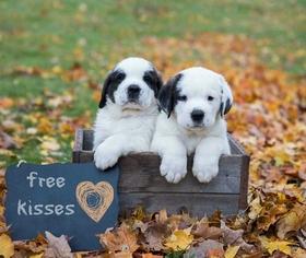 Saint Bernard Puppy For Sale in CASSVILLE, NY, USA