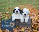 Saint Bernard Puppy For Sale in CASSVILLE, NY