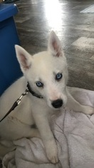 Siberian Husky Puppy For Sale in DICKINSON, TX, USA