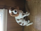Cavalier King Charles Spaniel Puppy For Sale in MOUNT PLEASANT, PA, USA