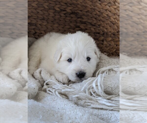 Medium Photo #34 Great Pyrenees Puppy For Sale in FALCON, CO, USA