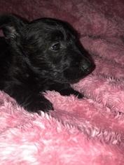 Scottish Terrier Puppy For Sale in EDEN, IN, USA
