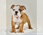 Puppy 5 Bulldog