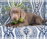 Small #4 Labrador Retriever