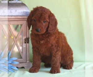 Irish Setter-Poodle (Miniature) Mix Dog for Adoption in NEWMANSTOWN, Pennsylvania USA