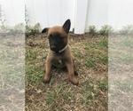 Small Photo #6 Belgian Malinois Puppy For Sale in WAYCROSS, GA, USA