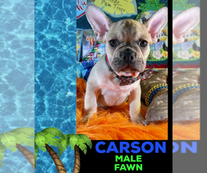 French Bulldog Puppy for sale in HEATHROW, FL, USA