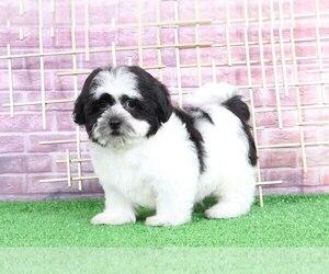 Zuchon Dog for Adoption in BEL AIR, Maryland USA