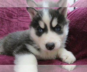 Siberian Husky Puppy for sale in LANCASTER, WI, USA