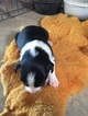 Border Collie-Miniature Australian Shepherd Mix Puppy For Sale in POWERSVILLE, MO