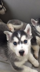 Siberian Husky Puppy For Sale in WOODFORD, VA, USA