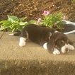 Beagle Puppy For Sale in SUGARCREEK, OH, USA