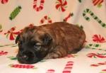 Soft Coated Wheaten Terrier Puppy For Sale in BOSSIER CITY, LA