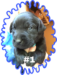 Labrador Retriever Puppy For Sale in MONROE, Georgia,