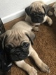 Pug Puppy For Sale in MORENO VALLEY, CA, USA