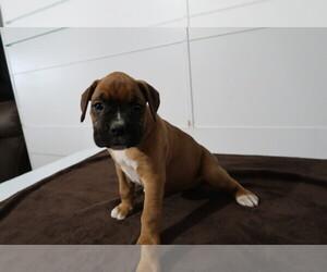 Boxer Puppy for sale in CINCINNATI, OH, USA