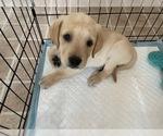 Small #1 Golden Labrador