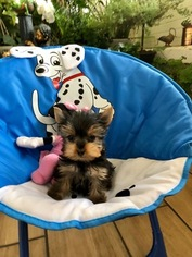 View Ad Yorkshire Terrier Puppy For Sale California Los Angeles Usa