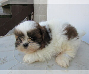 Shih Tzu Puppy for sale in SOUTH BEND, IN, USA