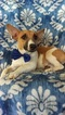 Jack Russell Terrier Puppy For Sale in BIRD IN HAND, Pennsylvania,