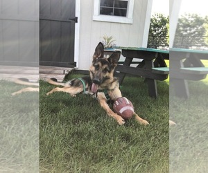 German Shepherd Dog Puppy for Sale in ANKENY, Iowa USA