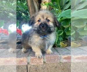 Pom-A-Poo Dog for Adoption in LOS ANGELES, California USA