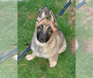 Malinois Puppy for sale in ORCHARDS, WA, USA