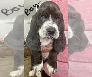 Basset Hound Puppy for sale in KENNEWICK, WA, USA