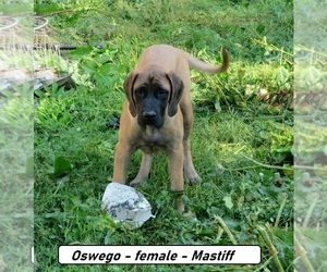 Mastiff Puppy for sale in HOPKINSVILLE, KY, USA