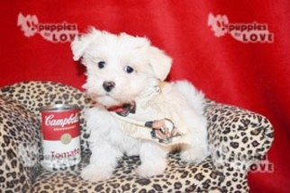 Maltese Puppy For Sale in SANGER, TX, USA
