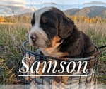 Small #5 Bernese Mountain Dog