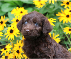 Labradoodle Puppy for sale in LEBANON, PA, USA