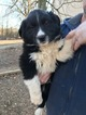 Australian Shepherd Puppy For Sale in BENTONVILLE, AR, USA