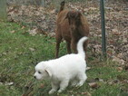 Great Pyrenees Puppy For Sale in WOODSBORO, MD, USA