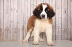 Saint Bernard Puppy For Sale in MOUNT VERNON, Ohio,