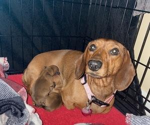 Dachshund Dog for Adoption in CARLISLE, Pennsylvania USA