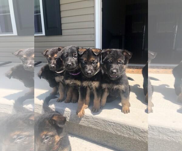 Medium Photo #3 German Shepherd Dog Puppy For Sale in ANDERSONVILLE, TN, USA