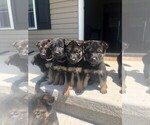 Small Photo #3 German Shepherd Dog Puppy For Sale in ANDERSONVILLE, TN, USA
