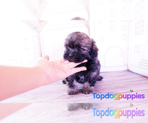 Shih-Poo Puppy for Sale in FULLERTON, California USA