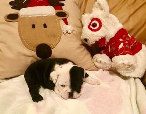 Bulldog Puppy For Sale in PEACHLAND, NC, USA