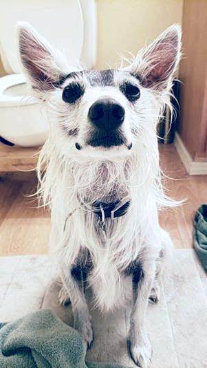 American Eskimo Dog-American Hairless Terrier Mix dog