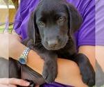 Labrador Retriever Puppy For Sale in TUCSON, AZ, USA