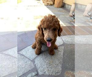 Poodle (Standard) Puppy for Sale in WESTMINSTER, California USA
